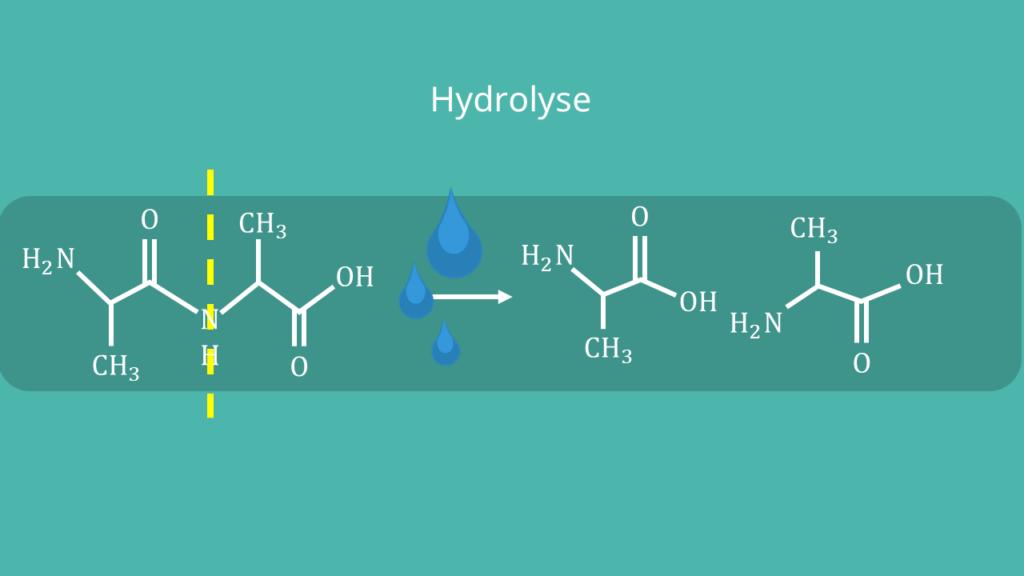 Peptidbindung - Hydrolyse, Struktur, Formel, Strukturformel