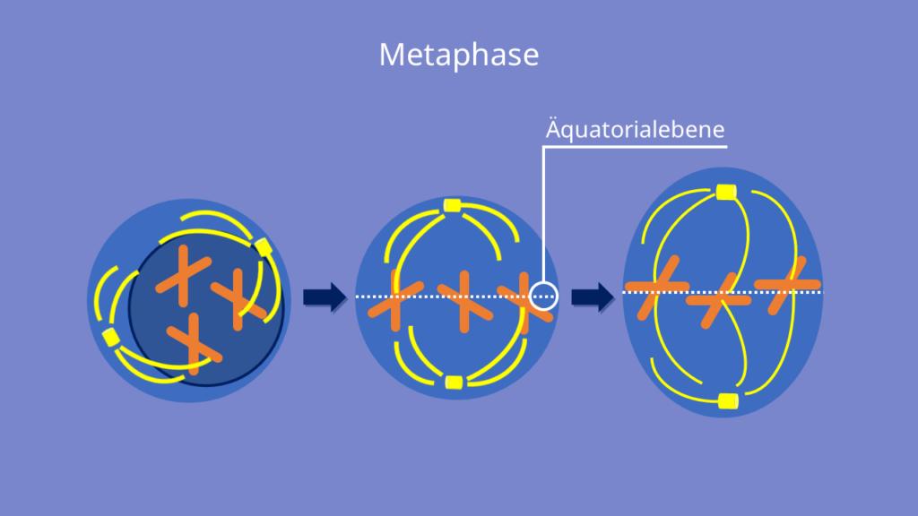 Mitose, Metaphase, Äquatorialebene, Chromosomen