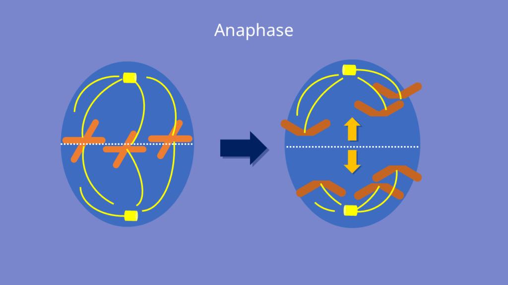 Mitose, Anaphase, Chromatid, Chromatiden