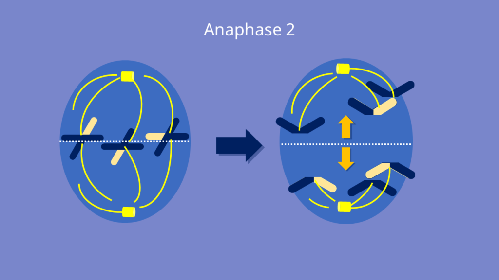 Meiose, Anaphase 2, Anaphase, Chromatiden