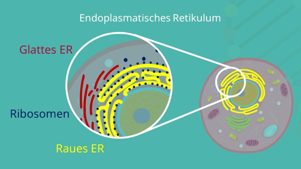 Raues ER, Glattes ER, endoplasmatisches Retikulum, Glattes endoplasmatisches Retikulum, raues endoplasmatisches Retikulum, Ribosomen