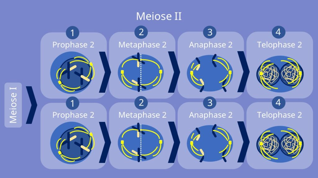 Meiose 2, Meiose 1, Prophase, Metaphase, Anaphase, Telophase