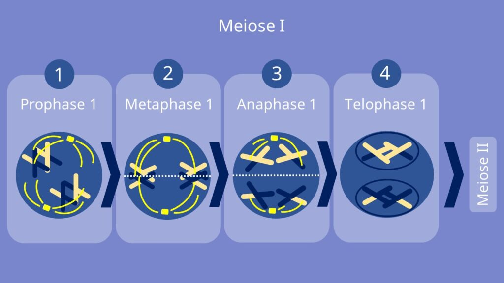 Meiose 1, Meiose 2, Prophase, Metaphase, Anaphase, Telophase