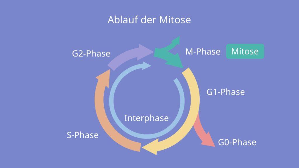 Ablauf der Mitose, Phasen, M-Phase, G1-Phase, G0-Phase, S-Phase, G2-Phase, Interphase