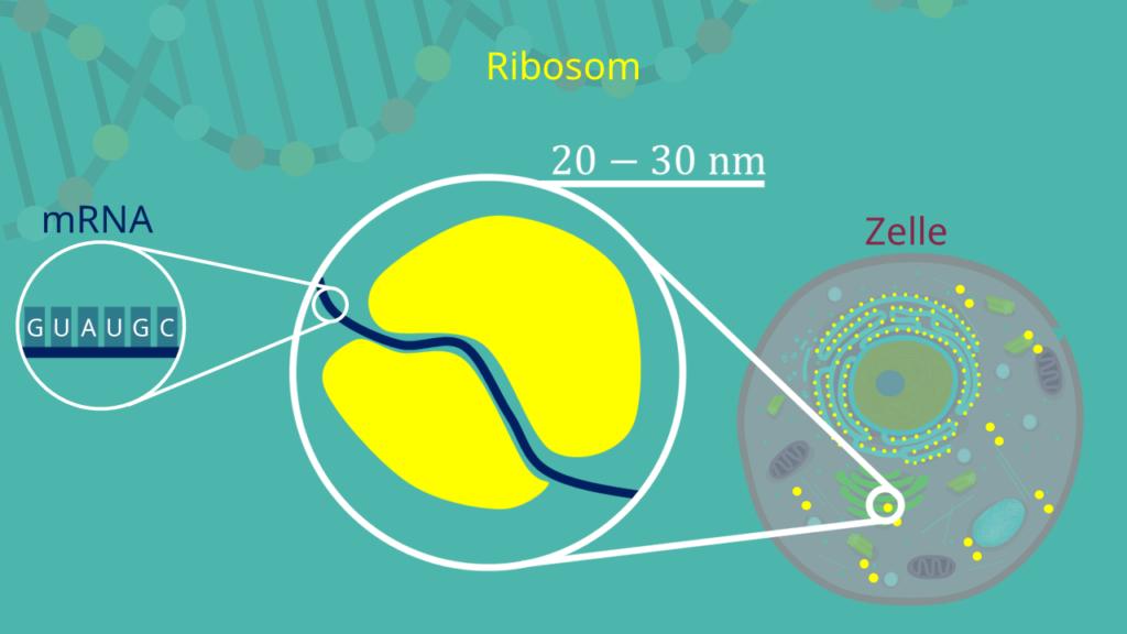 Ribosom, mRNA, Zelle, Ribosom in der Zelle, Tierzelle, Pflanzenzelle