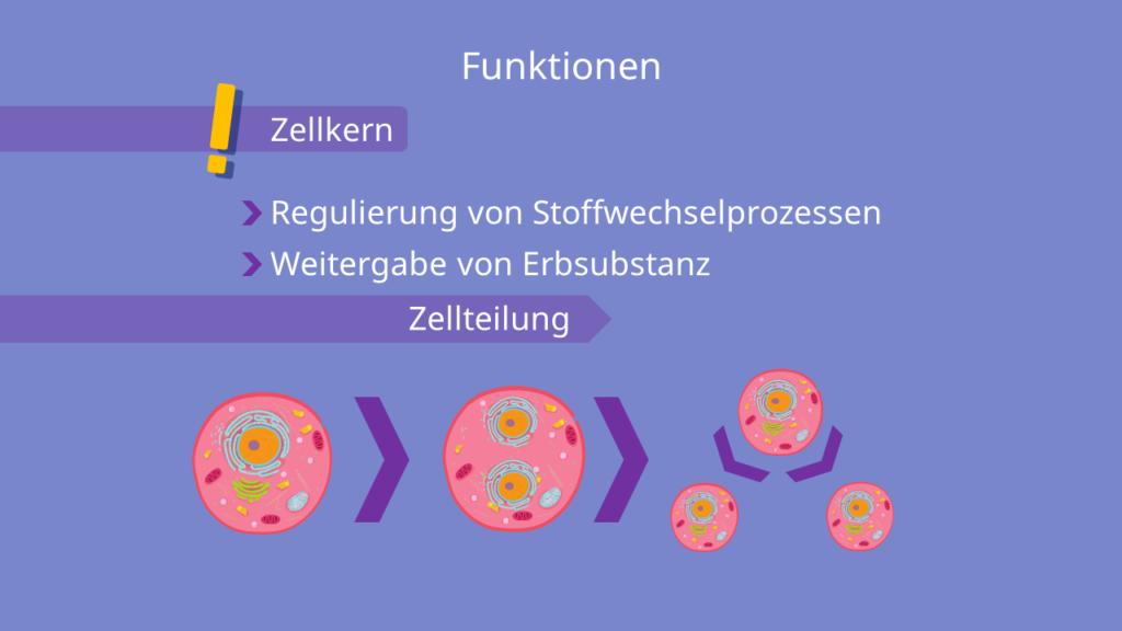 Zellkern Funktionen - Zellteilung Vorgang, Grafik, Veranschaulichung