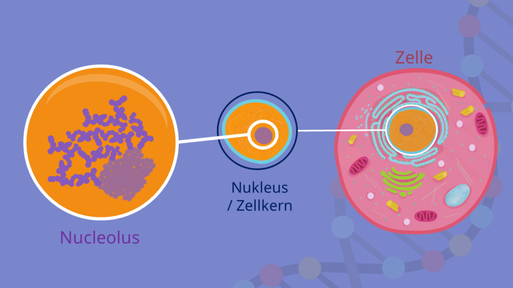 Nucleolus, Nukleus, Zellkern
