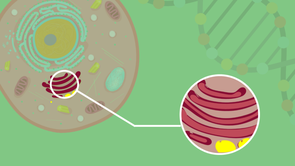 Golgi Apparat, Dictyosomen, Dictyosom