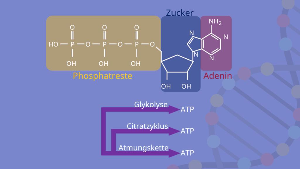 Zellatmung, Glykolyse, Citratzyklus, ATP