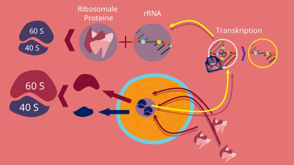 Nucleolus, Funktion, Prä Ribsomen, Ribosomen