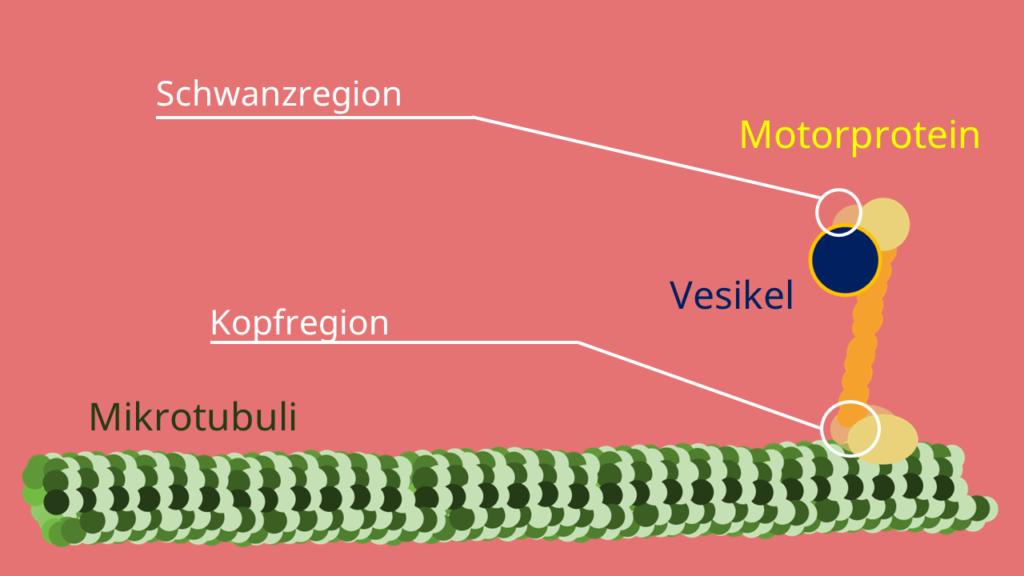 Motorprotein, Mikrotubuli, Vesikel