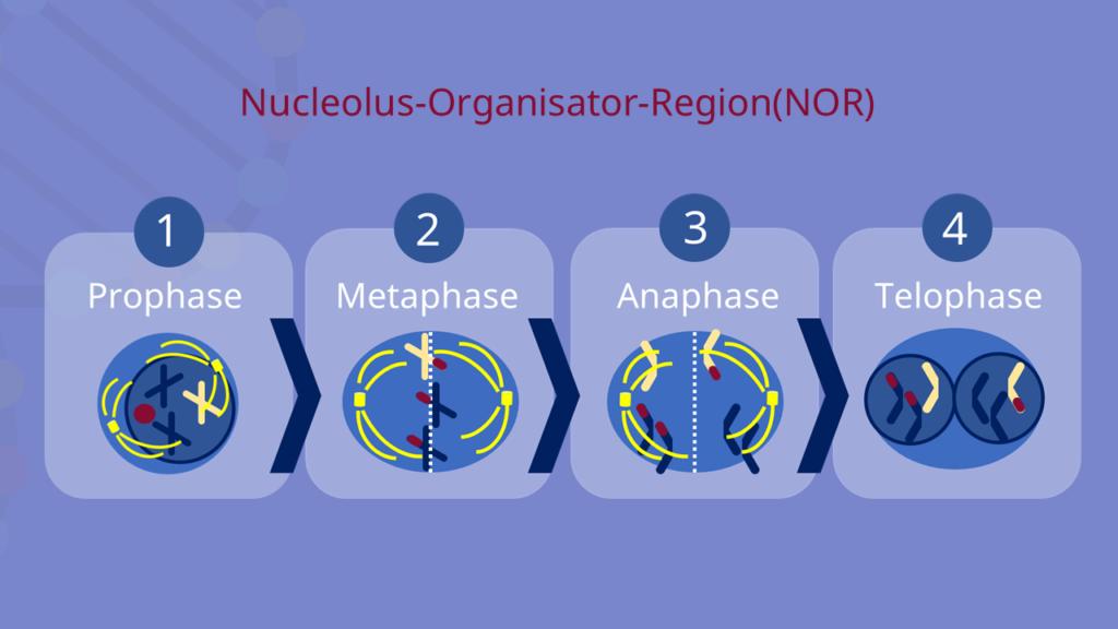 NOR, Nucleolus, Nucleolus Organisator Region
