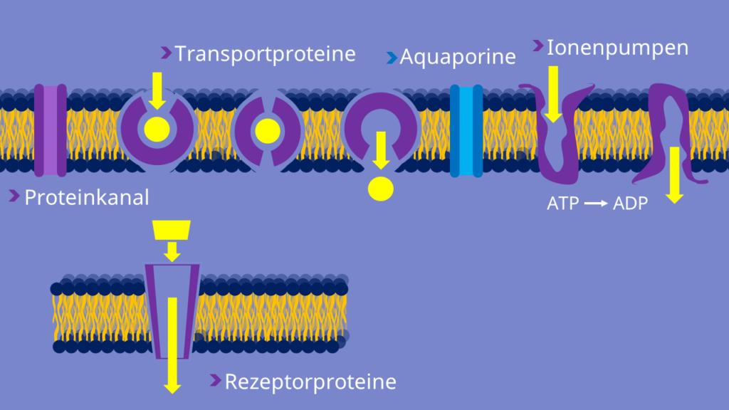 Proteinkanal, Aquaporine, Ionenpumpen ,Rezeptorproteine, Membrantransport
