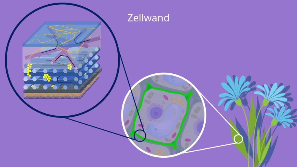 Zellwand, Pflanzenzelle