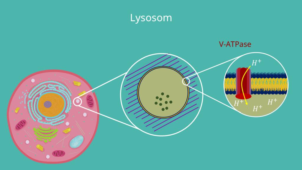 Lysosom, Lysosomen, Zellmembran, V-ATPase, Wasserstoffionen, Tierzelle, Membranprotein