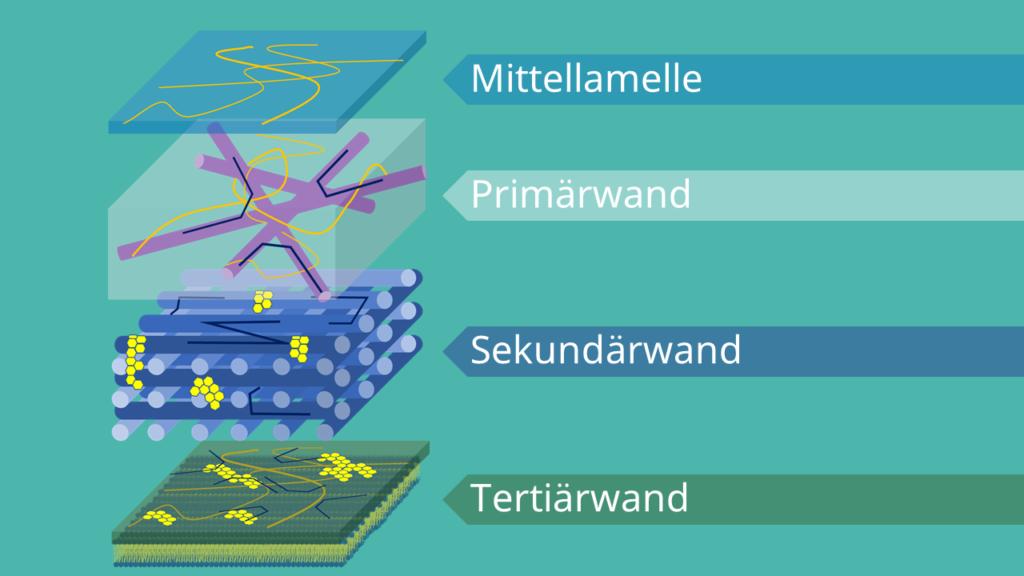 Zellwand, Aufbau, Struktur, Mittellamelle