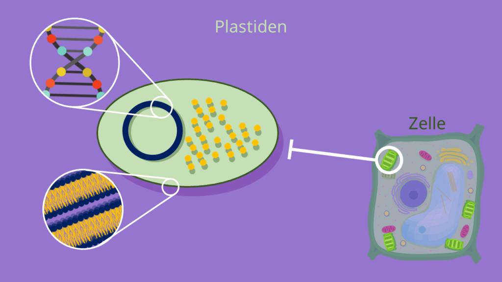Plastiden, Plastid, Zelle, Doppelmembran