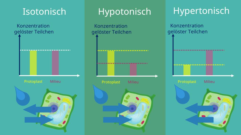 Protoplast, Protoplasten, Osmose, osmotischer Druck, isotonisch, hypotonisch, hypertonisch