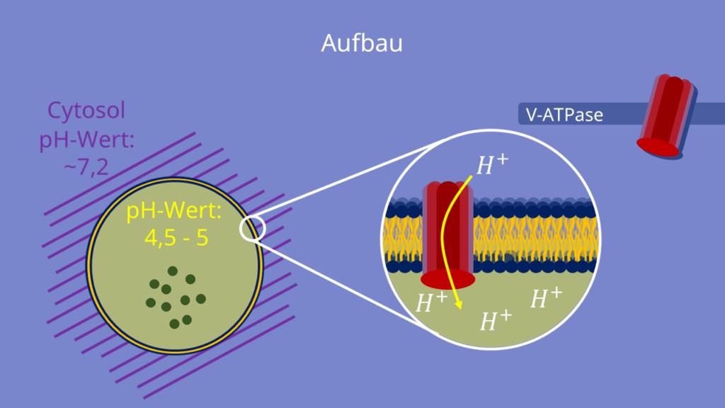 ATPase, Lysosom, Aufbau