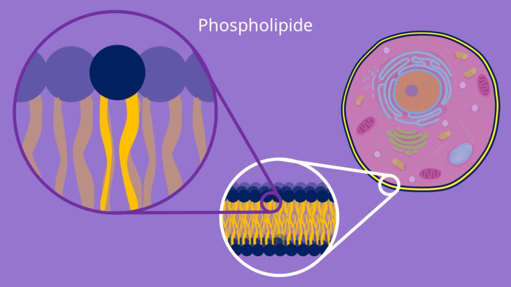 Phospholipide, Doppelmembran, Lipiddoppelschicht, Lipide, Amphiphil