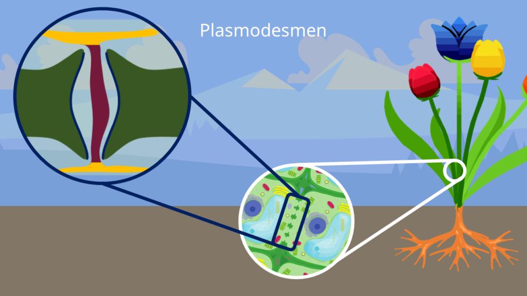 Plasmodesmen, Pflanzenzelle