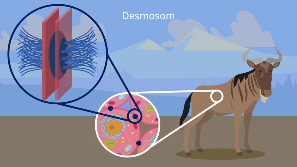 Tierzelle, Zell-Zell-Verbindungen, Desmosom