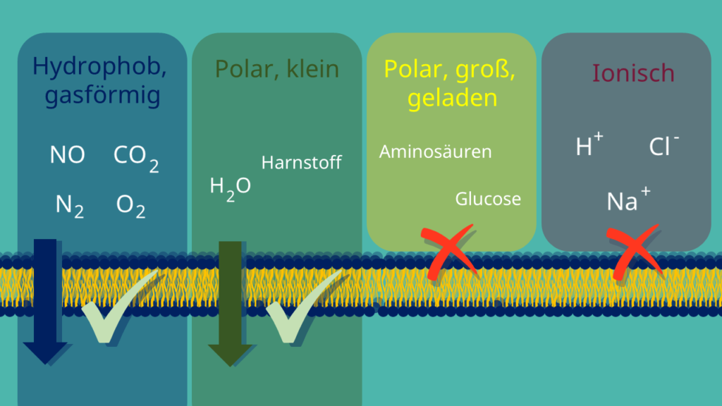 semipermeabel, Phospholipide, Biomembran, Zellmembran, Phospholipid-Doppelschicht, hydrophil, hydrophob, Diffusion, Membranproteine, Energie, ATP