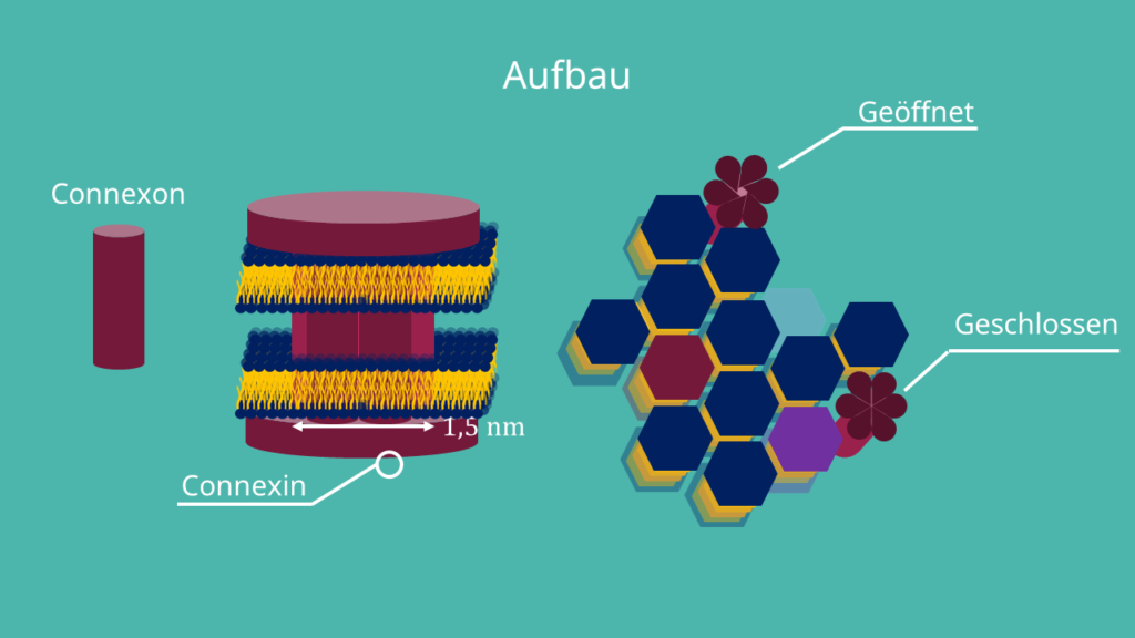 connexine, connexon, Interzellularraum, Plasmamembran, hydrophil, Zell-Zell-Verbindungen, tight junctons, Desmosomen