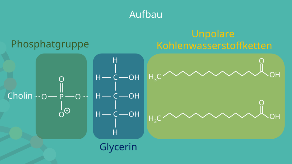 Phospholipide, amphiphil, Fettsäure, Phosphorsäure, hydrophil, hydrophob, Fettsäure,Esterbindung