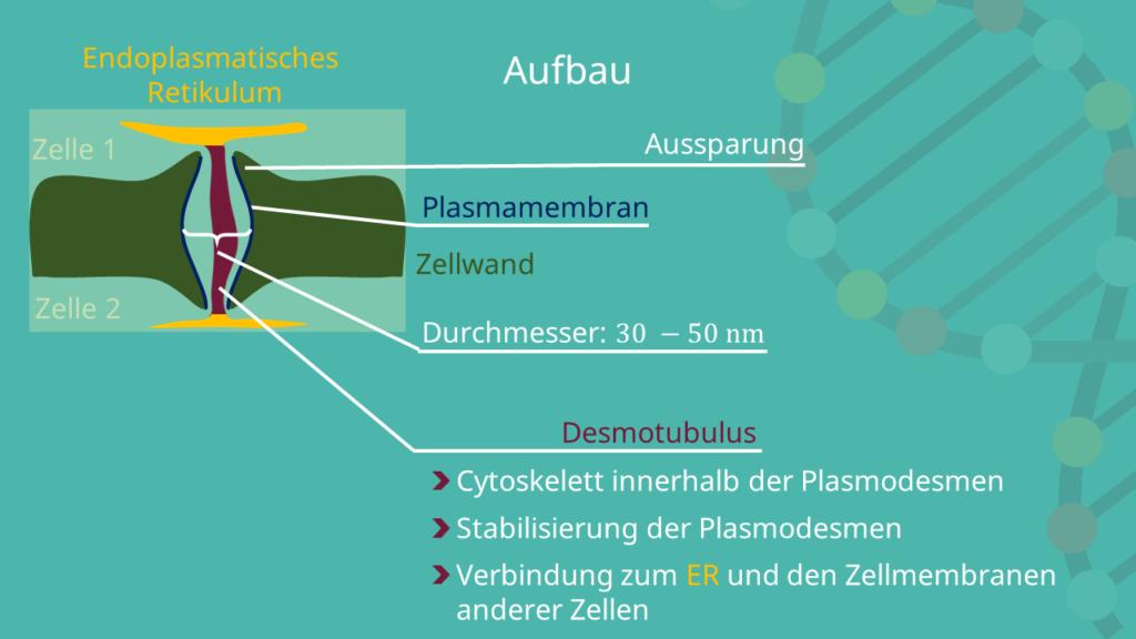 Plasmodesmen, Plasmodesmos, Pflanzenzelle, Plasmodesmata