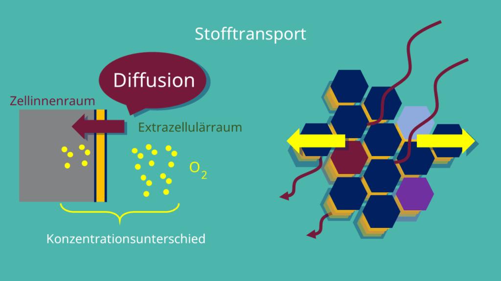 Phospholipide, Osmose, Diffusion, semipermeabel, Zellmembran, Bilayer, amphiphil, Interzellularraum, inneres Milieu