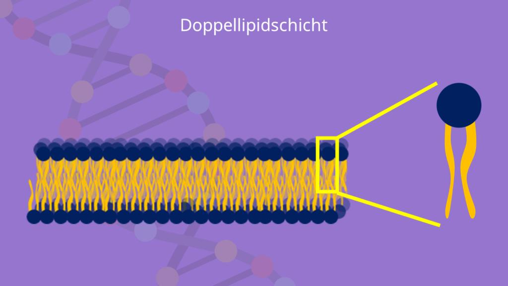 Bilayer, Zellmembran, Phospholipiddoppelschicht, Phospholipide, amphiphil