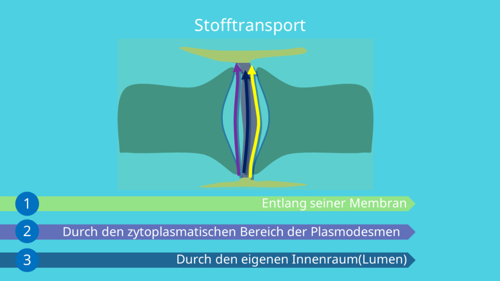 Plasmodesmen Funktion, Stofftransport, Pathogene, Desmotubulus