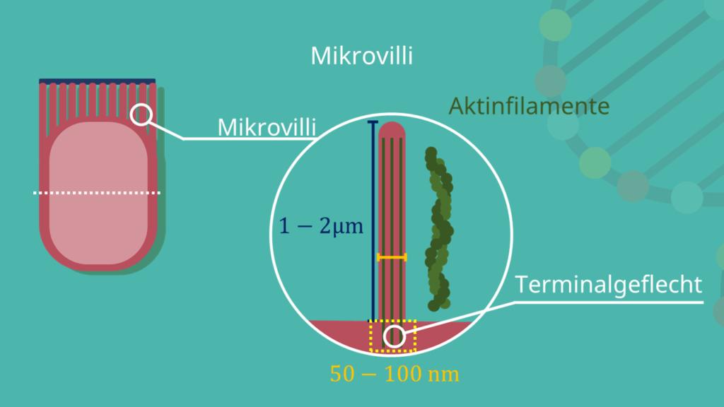 Mikrovilli, Glykokalix, Epithelzelle, Bürstensaum