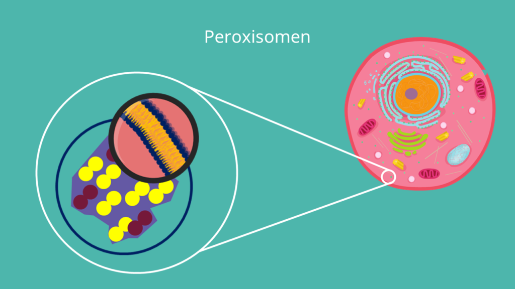 Peroxisomen, Biomembran, Monolayer, Verdauungsenzyme, Zelle