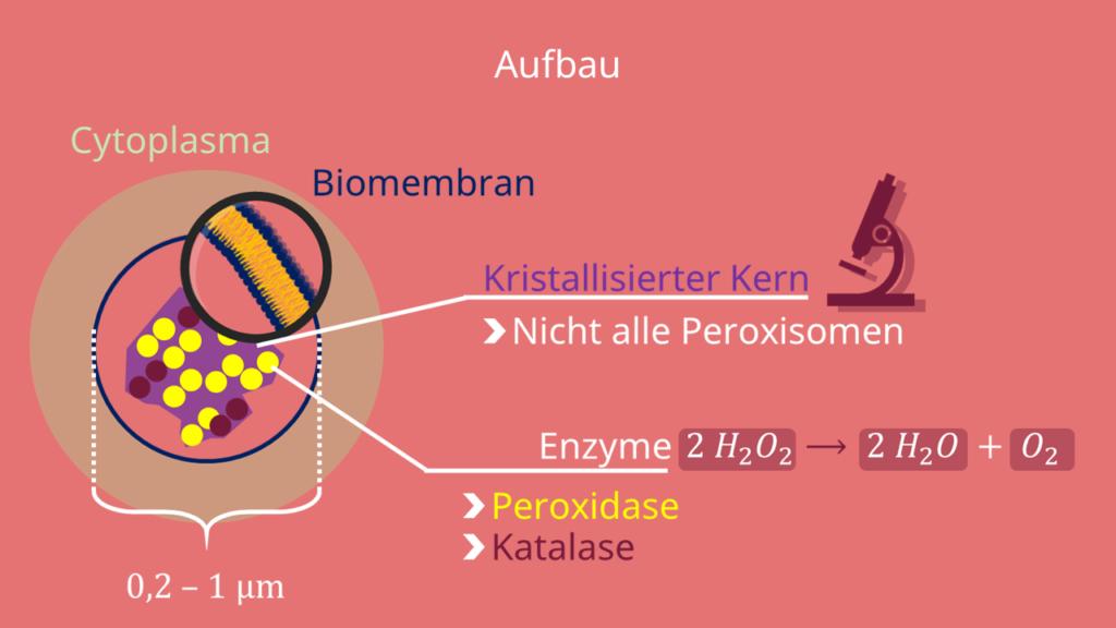 Peroxisom, Peroxisomen, Aufbau, Kern