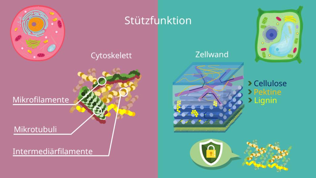 Tierzelle, Pflanzenzelle, Zellwand, Cytoskelett, tierische Zelle, pflanzliche Zelle