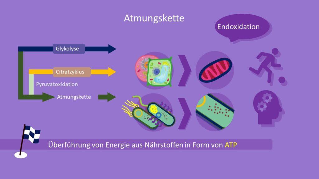 Atmungskette, ATP, Zellatmung, Eukaryoten, Prokaryoten, Citratzyklus, Glykolyse