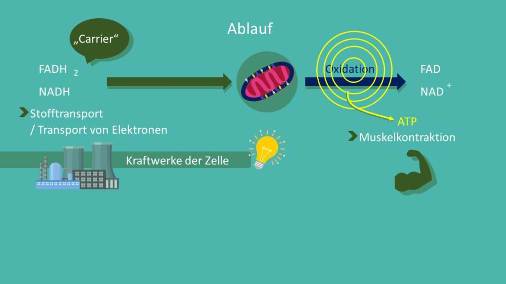 Atmungskette, NADH, ATP, Mitochondrien, Zellatmung, oxidative Phosphorylierung