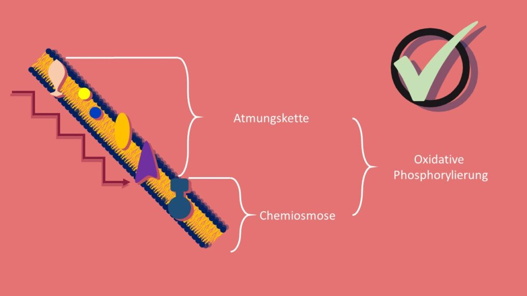 Atmungskette, oxidative Phosphorylierung, Chemiosmose, ATP, ATP-Synthase, Konzentrationsgradient, Zellatmung