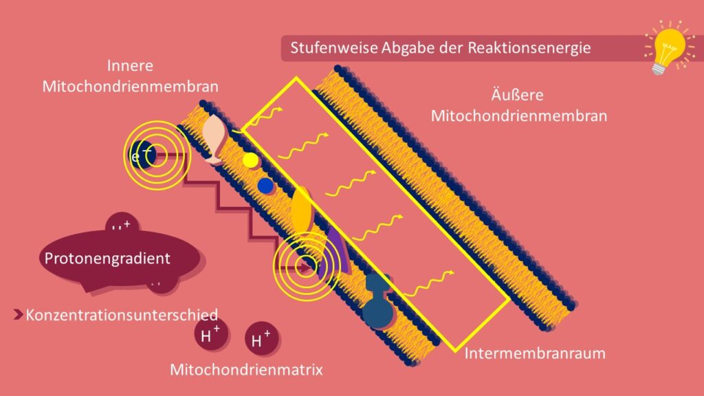 Atmungskette, Zellatmung, ATP, Mitochondrien, oxidative Phosphorylierung