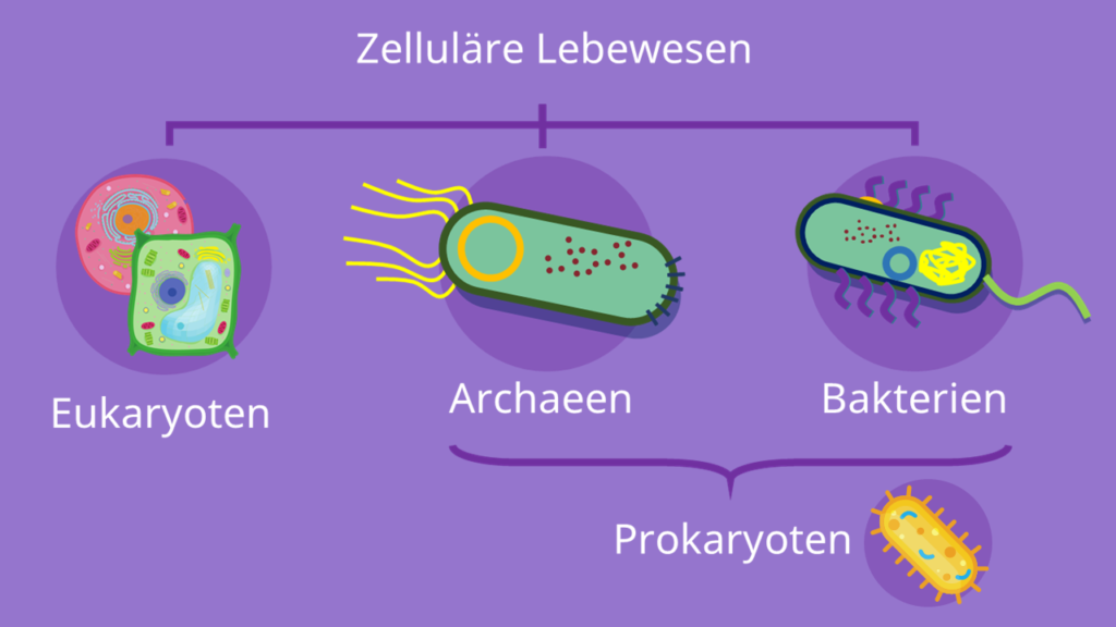 Prokaryoten, Archaeen, Bakterien, Eukaryoten