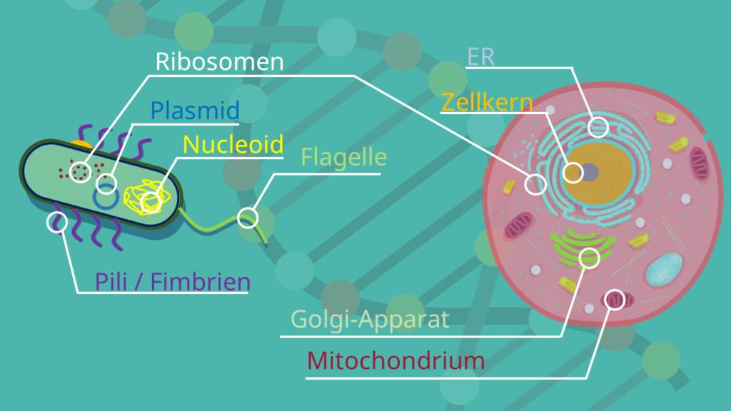 Prokaryoten, Eukaryoten,Flagellum, Zellkern, Nucleolus, Nucleoid, Zellmembran, Zellwand, Kapsel, Bakterien, Archaeen