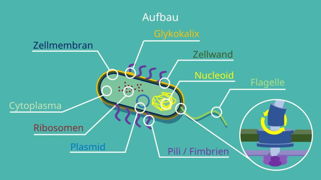 Prokaryotenzelle, Kapsel, Bakterien, Archaeen, Flagellum, Plasmid, Pilli, Cytoplasma, Cytoplasmamembran, Zellwand, Nucleoid