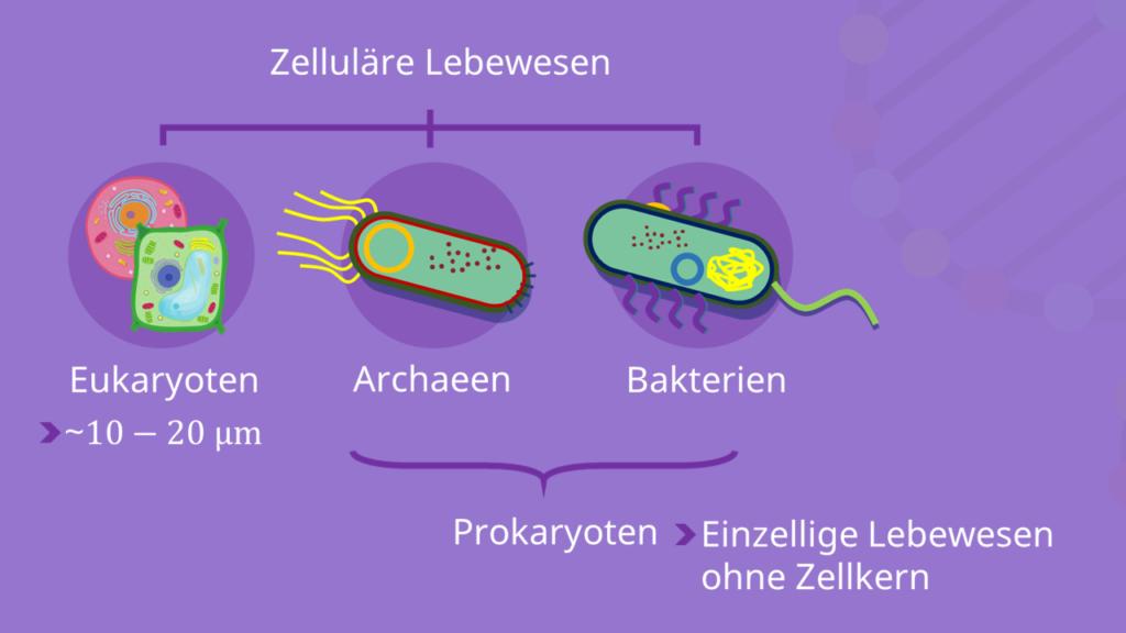 Eukaryoten, Prokaryoten, Archaeen, Bakterien, Domäne