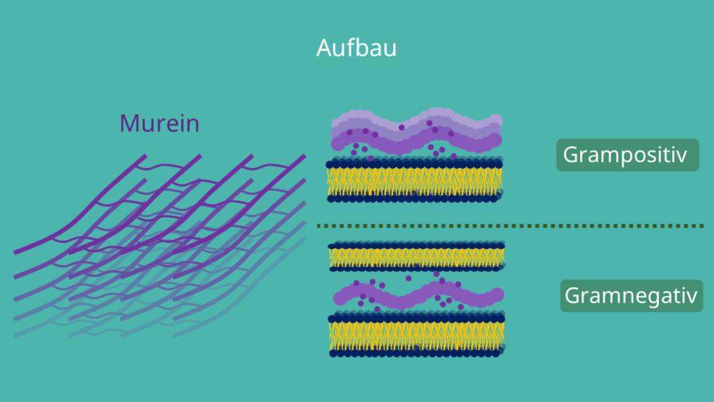 Prokaryoten Beispiele Zum Lernen Wissenature 3