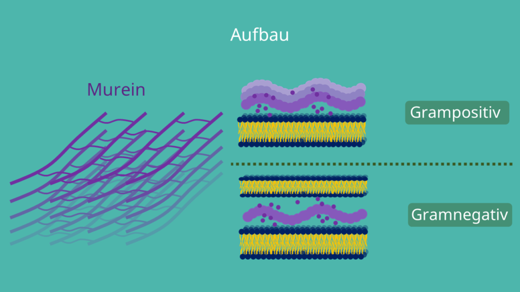 Zellwand, Prokaryoten, Bakterien, Archaeen, grampositiv, gramnegativ, Murein, S-Layer, Peptidoglycan