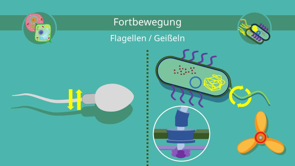 Euzyte, Prozyte, Eukaryoten, Prokaryoten, Flagellum