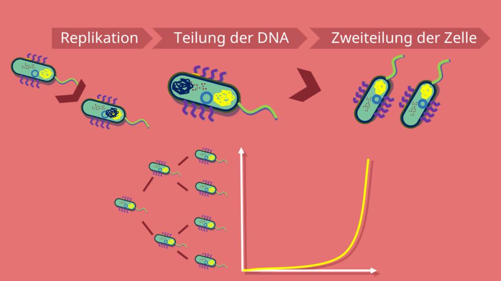 Prokaryoten, Klone, Septum, Replikation, Tochterzellen, DNA, exponentielles Wachstum