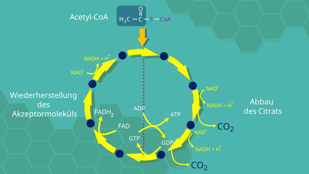 Citratzyklus, Kohlenstoffdioxid, Acetyl-CoA, Citrat, ATP, ADP, Adenosintriphosphat, Adenosindiphosphat